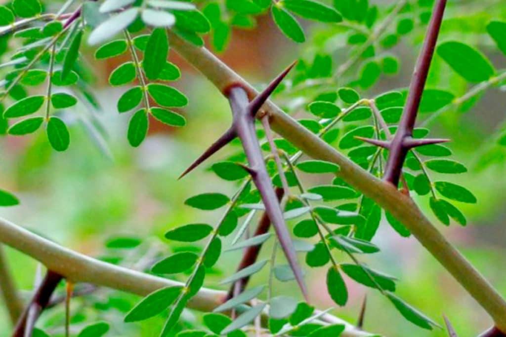 El árbol que da cruces y espinas. Foto Especial