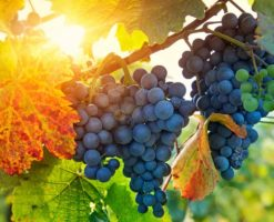 La vid y el sarmiento: Las dificultades son ocasión de dar más frutos