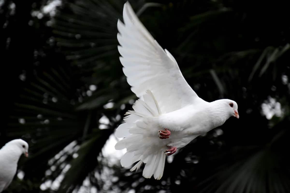 Comúnmente, al Espíritu Santo se le representa con una paloma. Foto: Cathopic